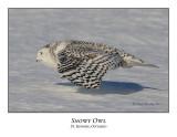 Snowy Owl-109