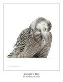 Snowy Owl-113