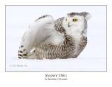 Snowy Owl-114