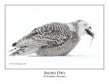 Snowy Owl-115