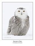 Snowy Owl-116