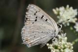 Lycaenidae - Gossamerwings