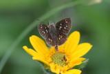 Many-spotted Skipperling (Piruna aea mexicana)