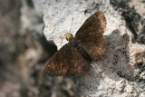 Golden-headed Sootywing (Staphylus ceos)