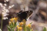 Desert Cloudywing (Achalarus casica)