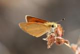Tropical Least Skipper (Ancyloxpha arene)