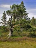Pine, Svartjønn