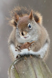 Red Squirrel with Tulip Tree Fruit