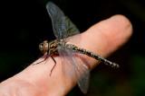 Harlequin Darner Dragonfly