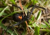 Black Widow (Latrodectus hesperus)