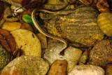 Western Garter Snake (Thamnophis elegans)