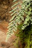 Tea Fern or Bird's Foot Fern (Pellaea mucronata)