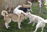 Wulik Siberian Sled Dogs