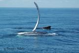 :: Baleine à bosse ::