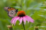Monarch 7516