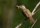 Red-eyed Vireo 7577