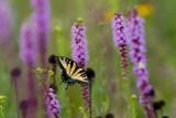 Yellow Swallowtail 7711