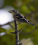 Black and White Warbler female