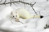 Short-tailed Weasel 3W6960