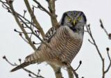 Northern Hawk Owl 3W7203