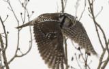 Northern Hawk Owl 3W7206