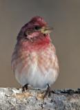 Purple Finch male 3W7980