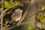 Clayt-colored Sparrow 0143