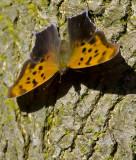 Comma Butterfly 0185
