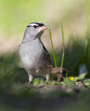 White-crowned Sparrow 0743