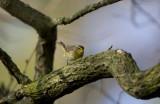 Palm Warbler 0084