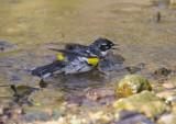 Yellow-rumped Warbler 0194