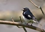 Black-throated Blue Warbler 0337
