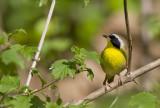 Common Yellowthroat 0778