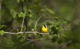 Common Yellowthroat 0796