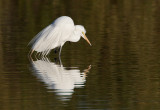 _I3W7552  Great Egret