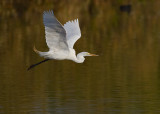 _I3W7562  Great Egret