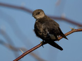 _I3W7668  Northern Rough-winged Swallow