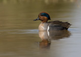 _I3W7834  Green-winged Teal