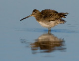 _I3W8183  Long-billed Dowitcher