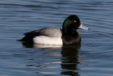 _I3W9675 Greater Scaup