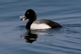 _I3W9716  Greater Scaup