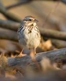 Song Sparrow 0359