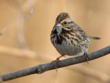 Song Sparrow 0369