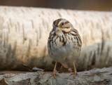 Song Sparrow 0439