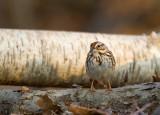 Song Sparrow 04391