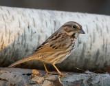 Song Sparrow 0651