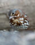 Fox Sparrow 0677
