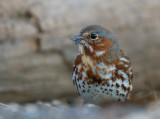 Fox Sparrow 0685