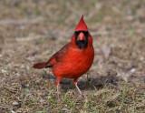 Northern Cardinal 0787