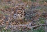 Song Sparrow 0333
